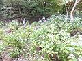 Kobe Municipal Arboretum in 2013-6-22 No,58.JPG