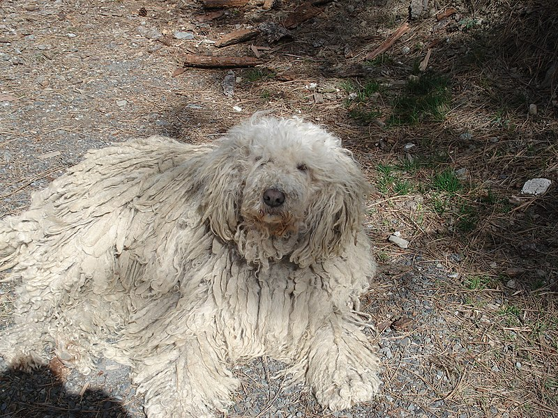 Here we see a Komondor melting into the asphalt, a thing it does regularly to escape predators like cars and trucks.
