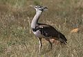 Kori bustard, Ardeotis kori, at Pilanesberg National Park, Northwest Province, South Africa (28106197624).jpg