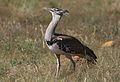 Kori bustard, Ardeotis kori, at Pilanesberg National Park, Northwest Province, South Africa (28106197624).jpg