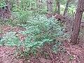Korina 2014-05-16 Symphoricarpos albus.jpg