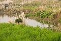 Koshi Tappu Wildlife Reserve-1153.jpg