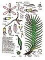 LR034 72dpi Dipodium pictum.jpg