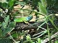 Lacerta viridis, Sićevačka klisura, Niš, Serbia (50).jpg
