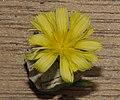 Lactuca sativa flower.jpg