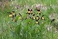 Lady's-Slipper Orchid - Cypripedium calceolus - panoramio (40).jpg