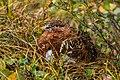 Lagópodo común (Lagopus lagopus), Parque nacional y reserva Denali, Alaska, Estados Unidos, 2017-08-29, DD 87.jpg