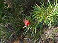 Lambertia formosa (5390133240).jpg
