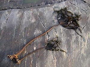 Stipe (botany) - The stipe of a brown alga