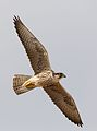 Lanner falcon, Falco biarmicus, at Kgalagadi Transfrontier Park, Northern Cape, South Africa (33767245453).jpg