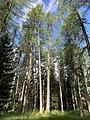 Larch woods Cortina 20200823.jpg