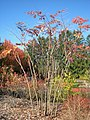 Lasdon Arboretum - Aralia spinosa - IMG 1499.jpg