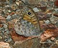 Lasiommata megera (Wall Brown).jpg