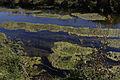 Lauchertwasser eutrophiert Schwäbische Alb.jpg