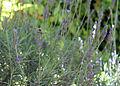 Lavender bee Paradyskloof.jpg