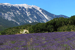 A typical Provence scenery, showing a lavender field with the Mont Ventoux in the background.