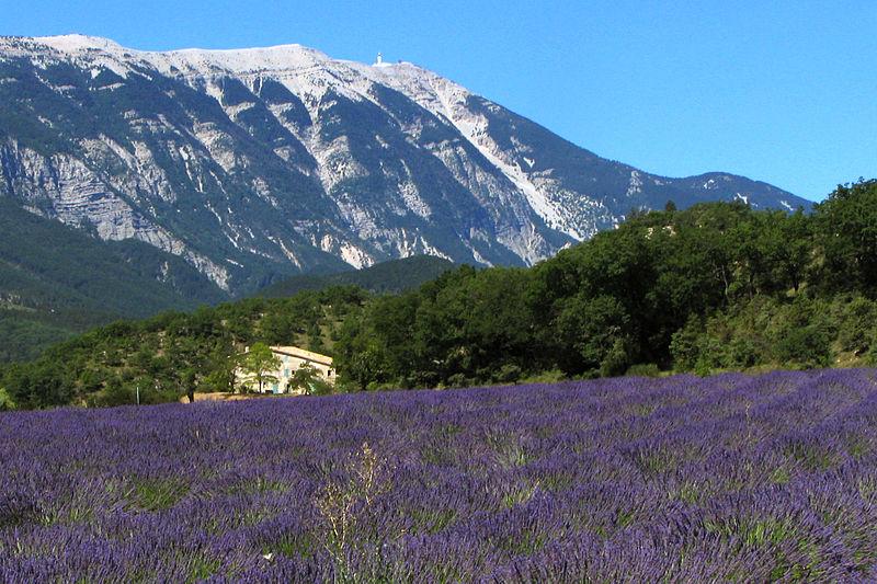 Een typisch Provençaals lavendelveld met de Mont Ventoux op de achtergrond