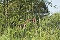 Le sainfoin cultivé (Onobrychis viciifolia).jpg