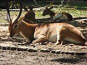 Lechwe antelopes Berlin.jpg