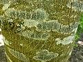 Lecidella elaeochroma 67790747.jpg