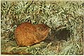 Lemmus tri,ocranotus.jpg