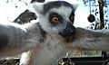 Lemur self-portrait.jpg