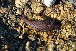 Lepadogaster lepadogaster.jpg