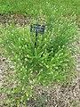 Lepidium campestre - whole plant (18865929628).jpg