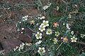 Leptospermum macrocarpum 01.jpg
