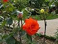 Les roses du jardin du thabor - panoramio.jpg