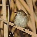 Lesser swamp warbler, Acrocephalus gracilirostris, at Marievale (40722476400).jpg