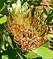 Leucospermum attenuatum 2.jpg