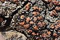 Lichen (30373590988).jpg