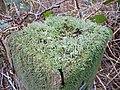 Lichen - geograph.org.uk - 340817.jpg