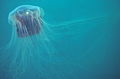 Lion's mane jellyfish, or hair jelly, Cyanea capillata, the largest know jellyfish in Newfoundland, Canada. (20769064483).jpg