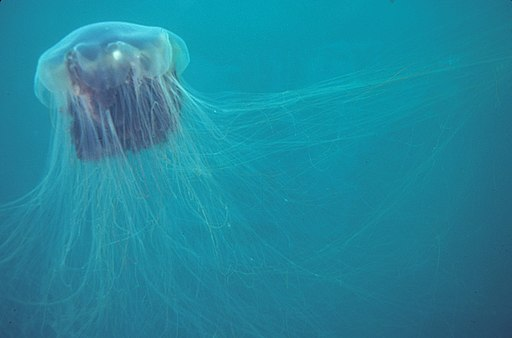 Lion's mane jellyfish, or hair jelly, Cyanea capillata, the largest know jellyfish in Newfoundland, Canada. (20769064483)