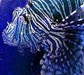 Lion fish in aquarium.jpg