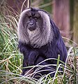 Lion tailed Macaque (19670070295).jpg