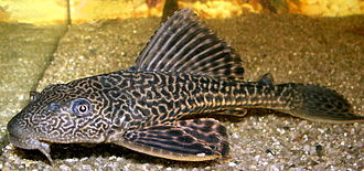 Loricariidae - Pterygoplichthys multiradiatus, often sold as a common pleco, is an aquarium fish often purchased as an algae eater.
