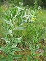 Lithospermum molle.jpg