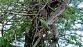 Little Bee-Eater (Merops pusillus) (6033390822).jpg