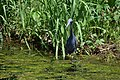 Little Blue Heron (34355972140).jpg