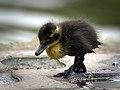 Little black duckling (26301628934).jpg