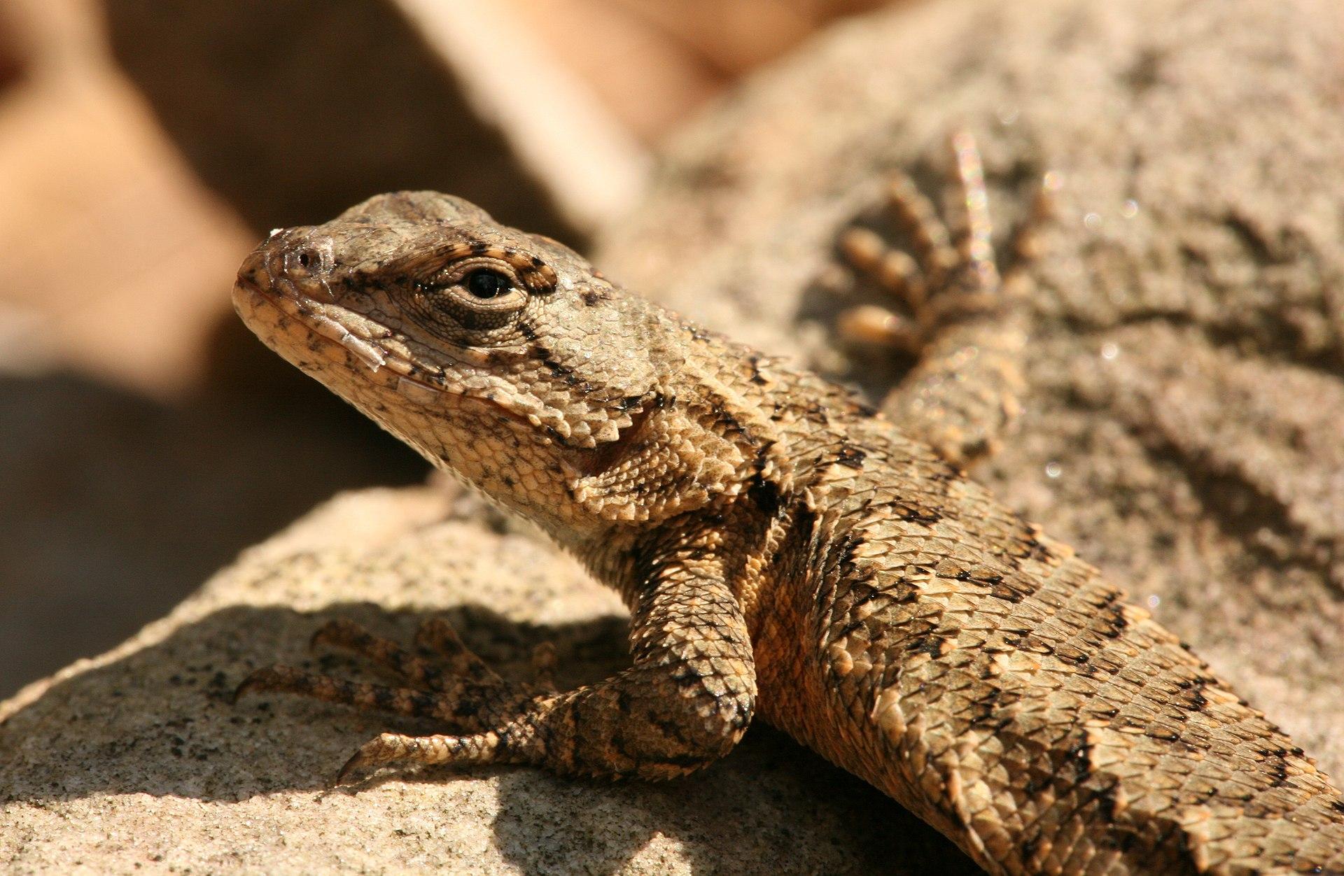 U S Lizard Eastern fence l...