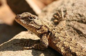 Eastern fence lizard - Image: Lizzard 1 Shawnee NP