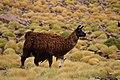 Llama (32205700053).jpg