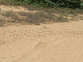 Locusta m. migratorioides hopper band1.jpg