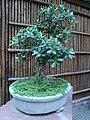 Lodhi Garden - Bonsai plant at Bonsai Park 2.jpg