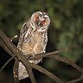 Long-eared owl (44822374124).jpg