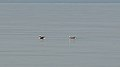 Long-tailed Ducks (Clangula hyemalis) - Mississauga, Ontario 2019-04-22.jpg